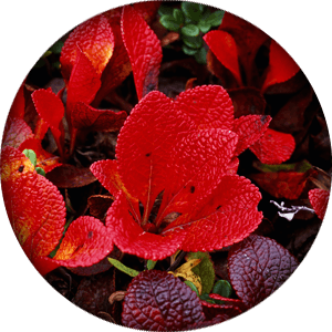 ingredient-bearberry-leaf