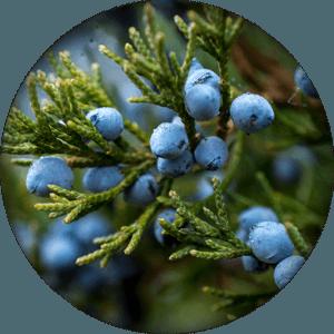 ingredient-juniper-berry